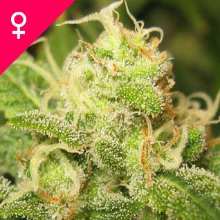 Ice Feminized Cannabis Seeds