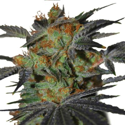 Buy Agent Orange (Fem) seeds online
